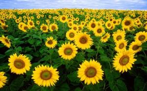 sunflower-11574_1280